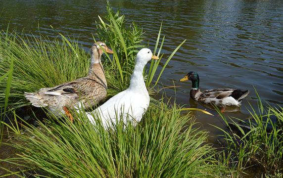 wild and domestic ducks