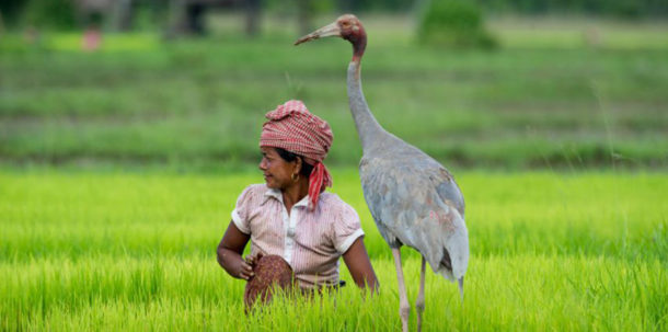 Woman in rice paddy with sarus crane