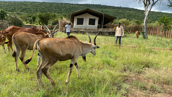 Domestic cattle and wild common eland graze together around safari tents in Nashulai Maasai Conservancy