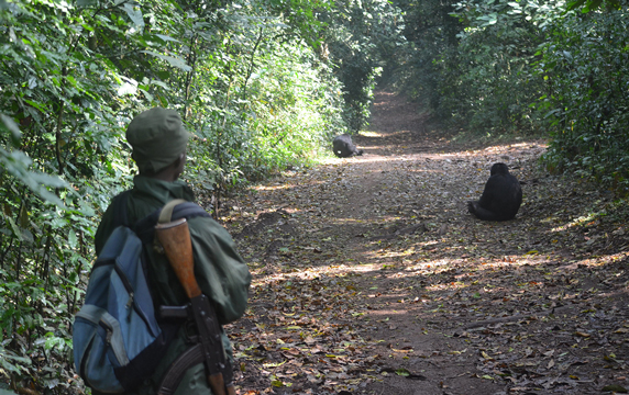 Ranger tracking chimpanzees at Kibale National Park in Uganda
