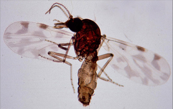 Culicoides imicola, midge