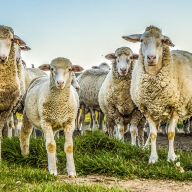 How do climate change, migration and a deadly disease in sheep alter our understanding of pandemics?
